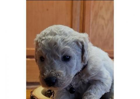 4 Male Golden doodle puppies $850 each