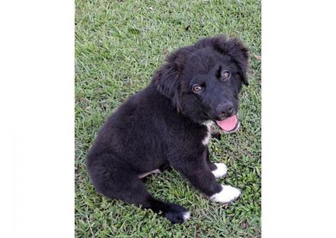 Austrian Shepherd Puppy